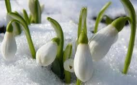 Febuary snowdrop