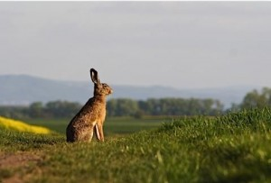 March hare big