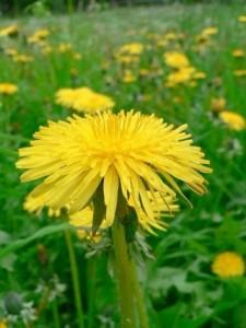 May dandelion